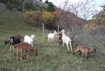 Saint-Claude à la reconquête de ses espaces pastoraux